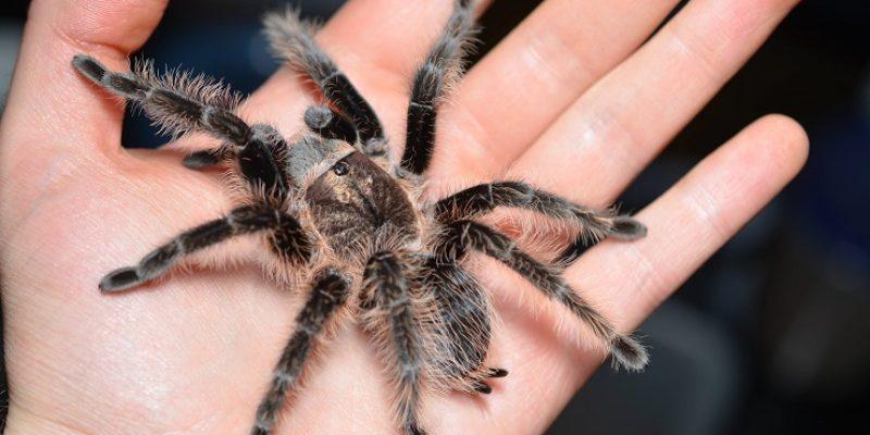 Чем питается паук-птицеед брахипельма?