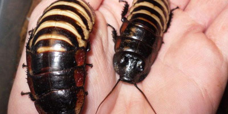 Как проходит линька у мадагаскарского таракана?