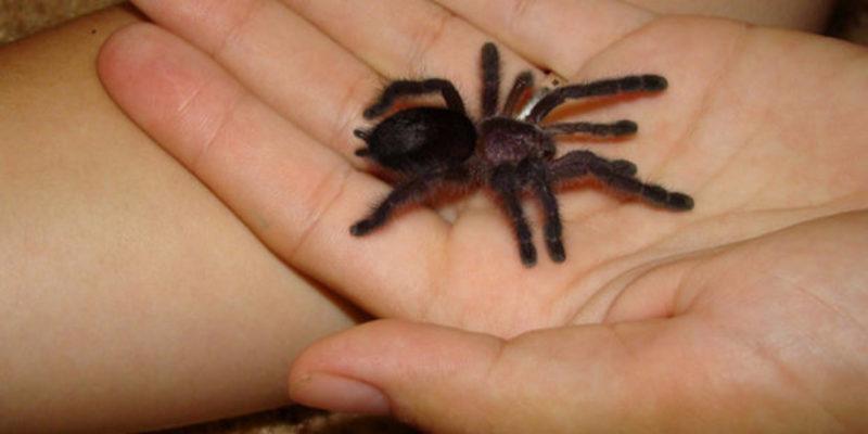 Опасен ли для человека паук-птицеед?