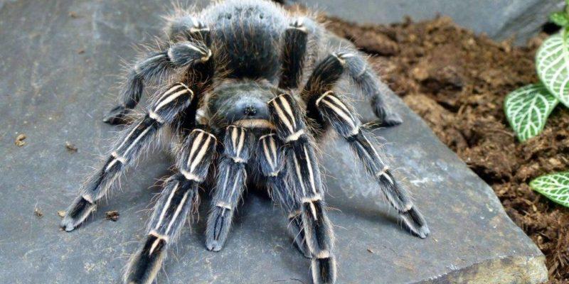 Сколько живёт паук-птицеед?
