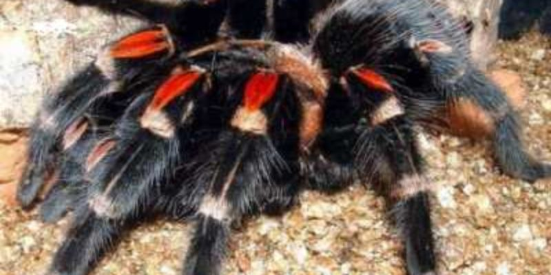 Особенности кокона, клыков и глаз паука-птицееда