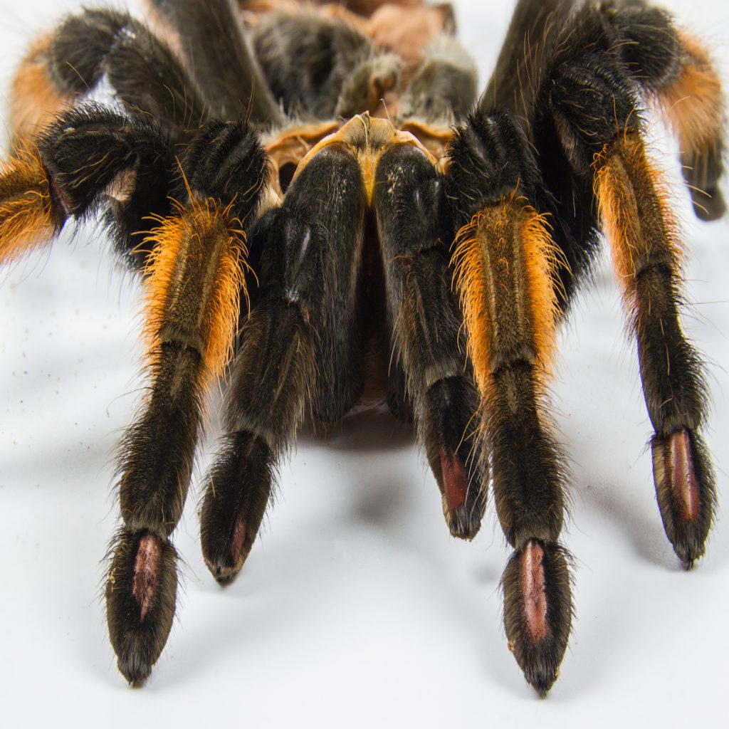 Как выглядит паук-птицеед?