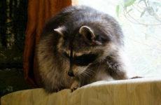 Воняют ли еноты в домашних условиях?